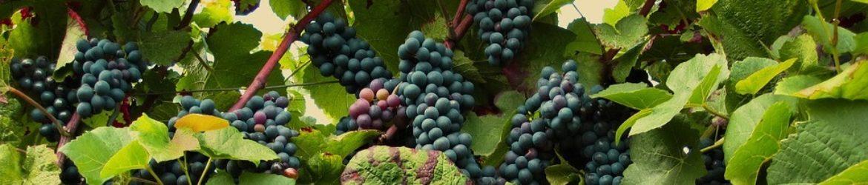 cropped-vines-2546056_960_250.jpg